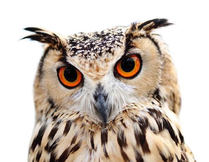 WGN Owl